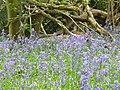 Bluebells by Waterland Farm - geograph.org.uk - 1294970.jpg