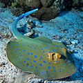 Bluespotted Ribbontail Ray, Taeniura lymma (36149007170).jpg