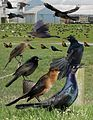 Boat-tailed Grackle From The Crossley ID Guide Eastern Birds.jpg
