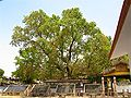 Bodhi Tree, related to The Bodhi Tree, Sarnath.jpg