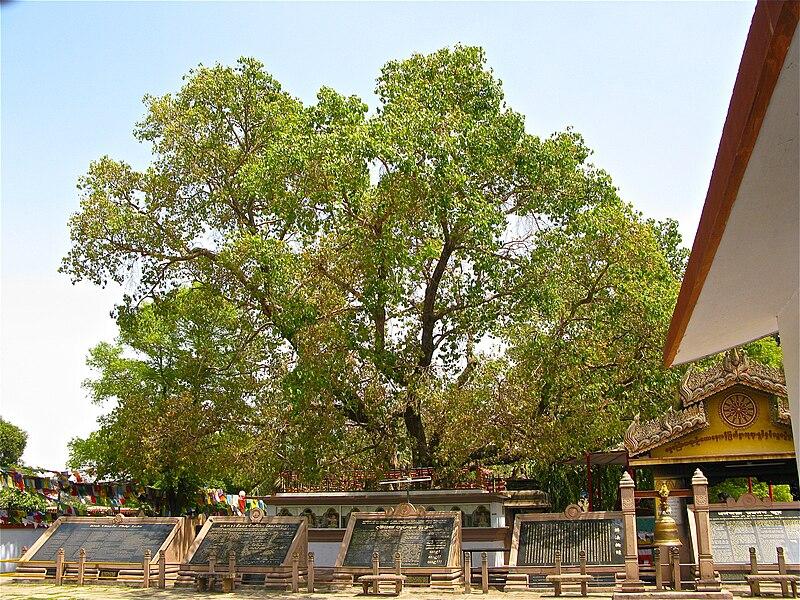 Pohon Bodhi di Taman Rusa Isipatana, Sarnath, Varanasi (Benares), India, Tempat pertama kali Buddha Sakyamuni (Gotama) membabarkan khotbah pertamanya. Tampak lempengan granit bertuliskan isi Dhamma Chakka Pavattana Sutta dalam berbagai bahasa.