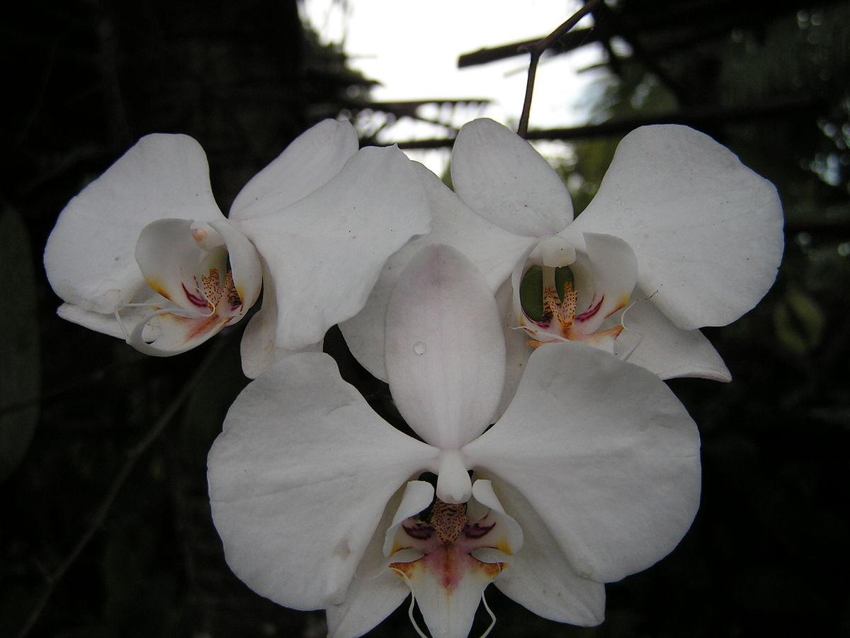 コチョウラン - Wikipedia