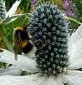 Bombus Lucorum. Female. - Flickr - gailhampshire.jpg
