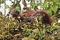 Bornean Orangutan in nest.jpg