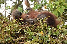 Orangutan lying on its back in a nest
