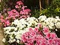 Botanischer Garten - Azalean (Azaleas) - geo.hlipp.de - 35117.jpg