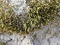 Brachythecium albicans 95435254.jpg