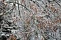 Branches of linden tree under snow.jpg