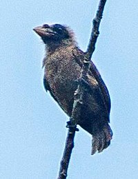 Bristle-nosed Barbet - Ghana S4E1765 (16406883071), crop.jpg