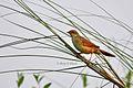 Bristled Grass Bird from Rajshahi, Bangladesh..jpg