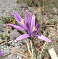 Brodiaea californica.jpg