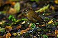 Brown-banded Antpitta - Colombia S4E1780.jpg