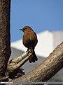 Brown Rock Chat (Cercomela fusca) (15708767877).jpg