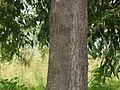 Brown Salwood (3957692879).jpg