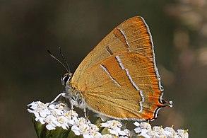Brown hairstreak (Thecla betulae) Bulgaria.jpg