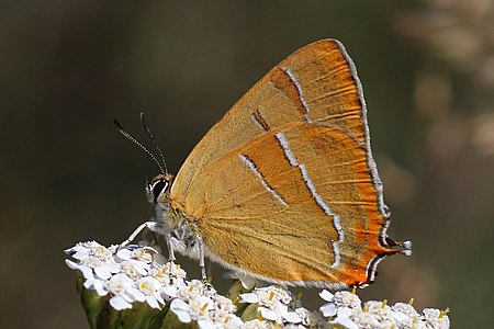 Brown hairstreak (Thecla betulae) Bulgaria.jpg