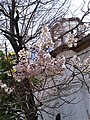 """Bucuresti, Romania. Florile copacului minune Paulownia ciorchine pe ramuri. In fundal Biserica Sfantul Nicolae """"Dintr-o Zi"""". Aprilie 2019.jpg"""