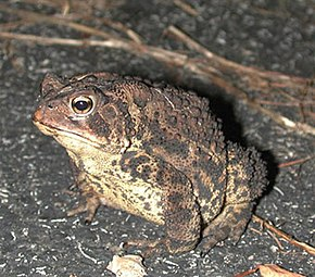 Description de l'image Bufo americanus1.jpg.