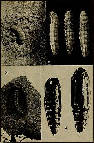 Boll weevil - 1) Full-grown larva entering soil for pupation; 2) three larvae showing shrunken appearance just before pupation; 3) larva in cocoon as made in sandy soil; 4) two bollworm pupae