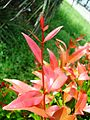 Bunga pucuk merah (57).JPG