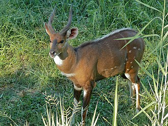 Harnessed bushbuck - Male