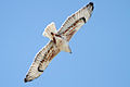 Buteo regalis -California -flying-8c.jpg