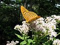 Butterfly in the area around the Togakushi shrine.jpg