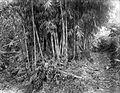 COLLECTIE TROPENMUSEUM Een bamboebos op Java TMnr 10011464.jpg