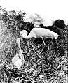 COLLECTIE TROPENMUSEUM Grote en kleine zilverreiger (Egretta alba modesta (Gray)) TMnr 10006495.jpg