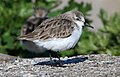 CSIRO ScienceImage 10330 Rednecked Stint.jpg