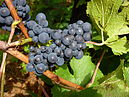 CSIRO ScienceImage 1981 Pinot Noir grapes at the Main Ridge Estate.jpg