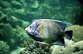 CSIRO ScienceImage 2946 Tropical Fish.jpg