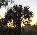 Cabbage Palm at sunrise (2969219217).jpg