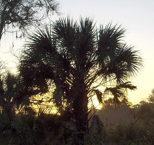 Cabbage Palm at sunrise (2969219217)