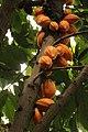 Cacao Tree - Theobroma cacao - panoramio.jpg