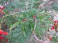 Caesalpinia Pulcherrima - രാജമല്ലി - 009.JPG