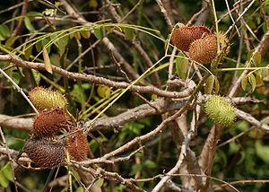 Nickernut - Image: Caesalpinia bonduc fruit W IMG 6946