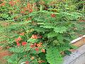 Caesalpinia pulcherrima - രാജമല്ലി 01.JPG