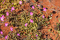Calandrinia calyptrata, pink purslane WA.jpg