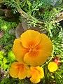 California poppy flower (5).jpg