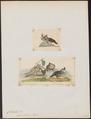 Callipepla squamata - 1700-1880 - Print - Iconographia Zoologica - Special Collections University of Amsterdam - UBA01 IZ17100249.tif