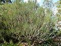 Calothamnus gilesii (habit).JPG