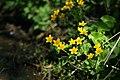 Caltha palustris - Knieć błotna - Marsh-marigold (35986548615).jpg