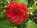 Camellia flower - geograph.org.uk - 1273698.jpg