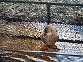 Camouflage duck , Камуфлажа кај патка.JPG