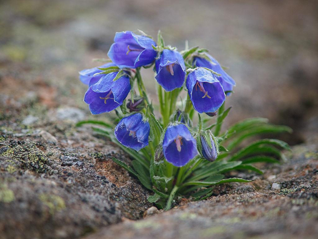 Zvonček alpínsky (lat. Campanula alpina)