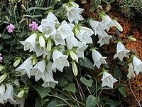 Campanula betulifolia.jpg