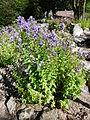 Campanula lactiflora-Jardin d'altitude du Haut-Chitelet.JPG