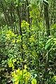 Canada Goldenrod 3873.jpg