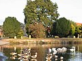 Canada geese and swans on The Crammer, Devizes - geograph.org.uk - 409741.jpg